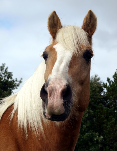 perfil retrato cavalo garanhao eunuco penacho