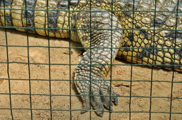 crocodilo em cativeiro