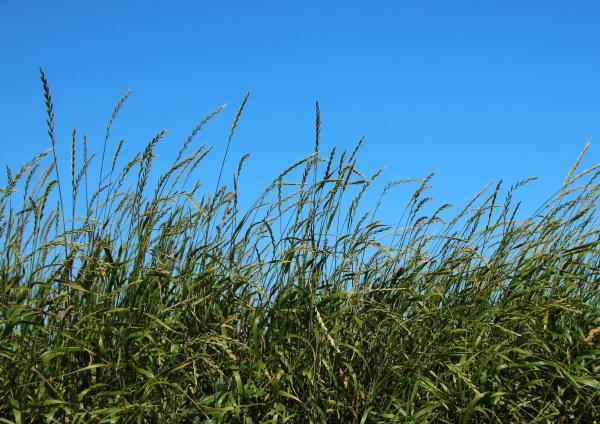 campo de palha verde com fundo