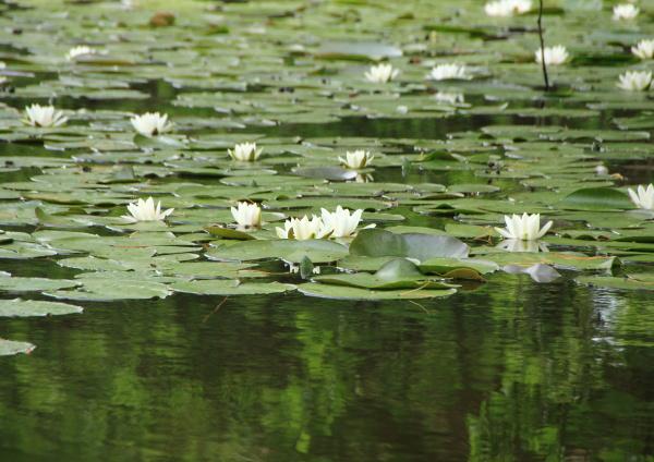 waterlily, branco, no, lago, com, reflexão - 15719076