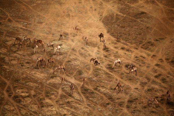ambiente animal mamifero marrom savana camelo