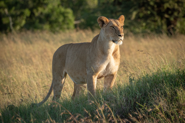 leoa fica em monte gramado olhando