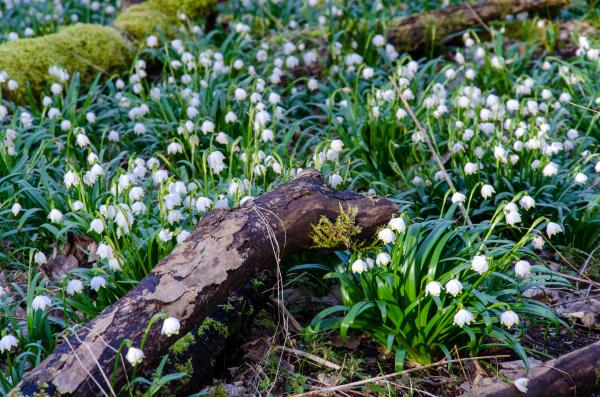flor, nó, primavera, na, floresta - 28215548