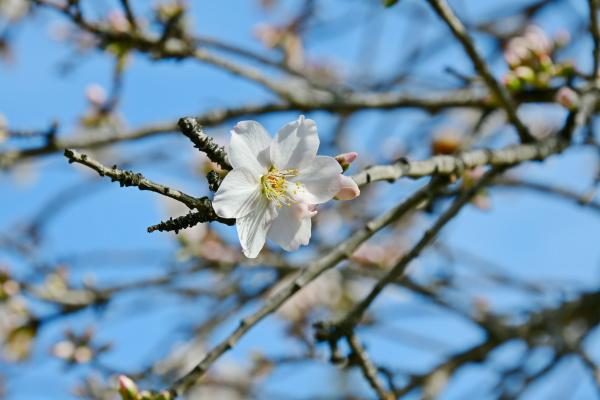 blossoms, on, almond, tree, , alicante - 28217284