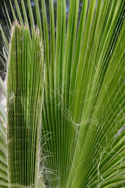folhas, de, palmeiras, na, província, de - 28217094