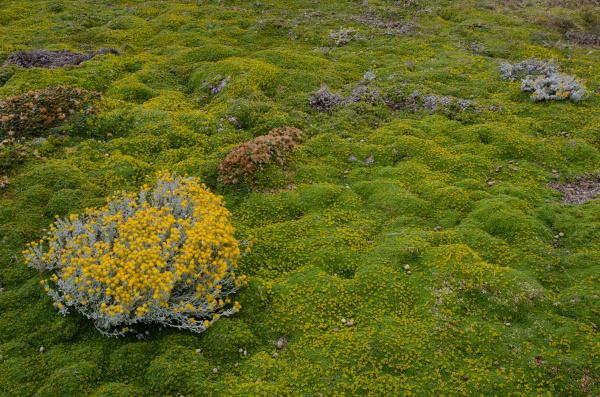 planta, de, senecio, sp., em, floração - 28257468