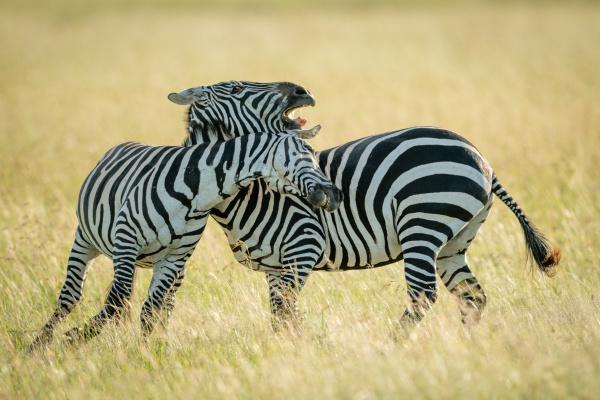 zebras, das, planícies, brincam, de, lutar - 28257557