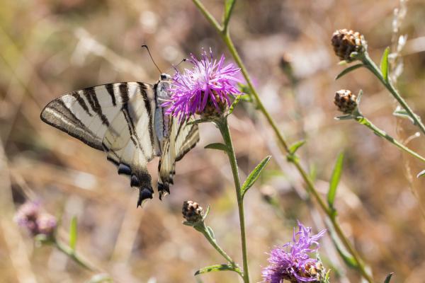 mariposa, de, vela, (iphiclides, podalirius) - 28710047