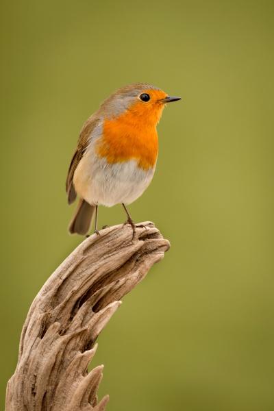 pássaro, bonito, com, uma, bela, plumagem - 29783953