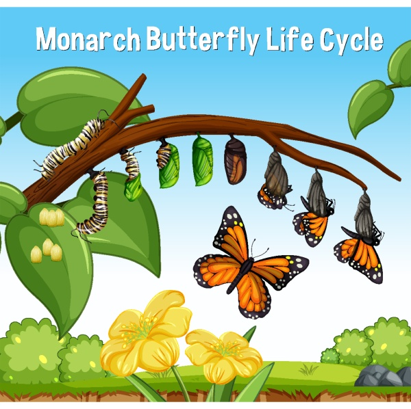 cena com monarch butterfly life cycle