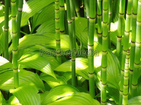 bamboo and hosta