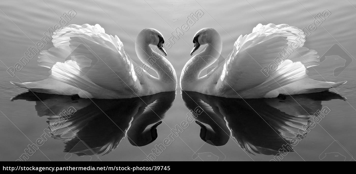 swan, lake - 39745