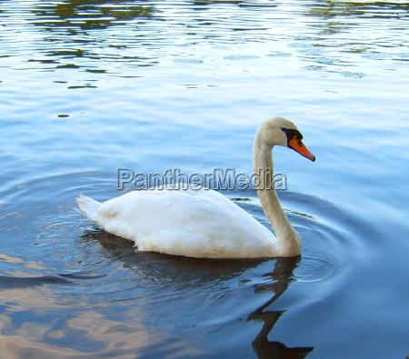 cisne caucasico pico plumaje picos agua