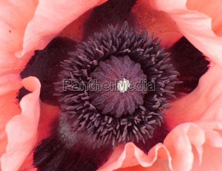 close up detalhe flor planta papoula