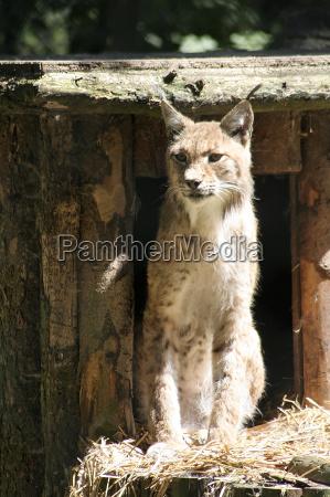 mamifero jardim zoologico resina predador gato