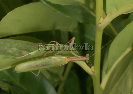 inseto verde cacador hipocrita bandido