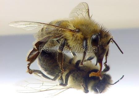 abelha no espelho