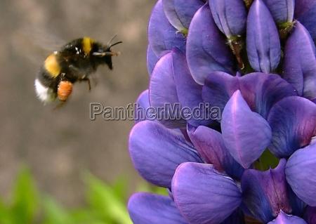 bumblebee se aproximando