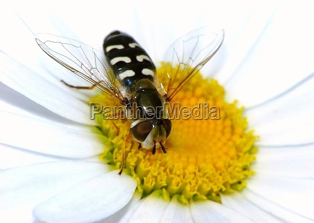 hoverfly na marguerite
