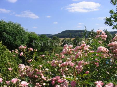 jardim verao distante rosas olhar vista