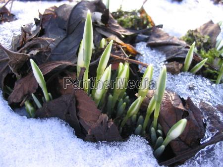 primavera broto flor planta campanula branca