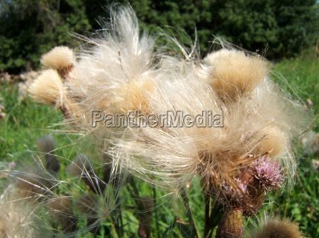 cabeludo violeta erva daninha cardo espinhoso