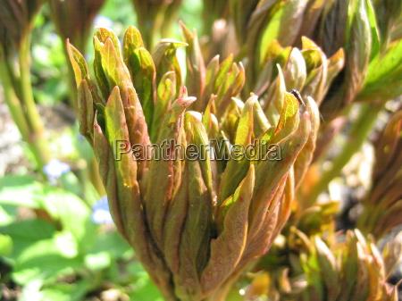 peonia luz ensolarado primavera fresco pfingstrosentriebe