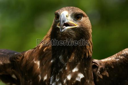 retrato golden eagle choupo branco