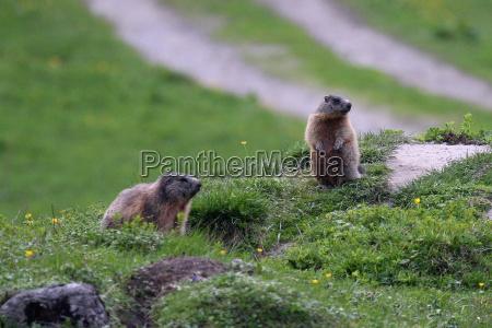 caca de marmota