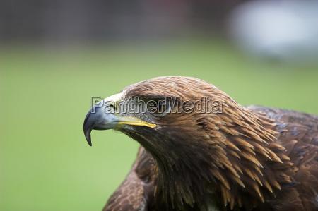 enorme ave de rapina golden eagle