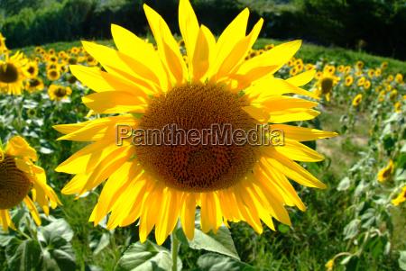 sunflower 9