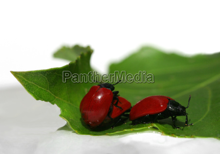 verde besouro reproducao vermelho