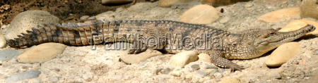 perigo dentes selvagem crocodilo sono adormecido
