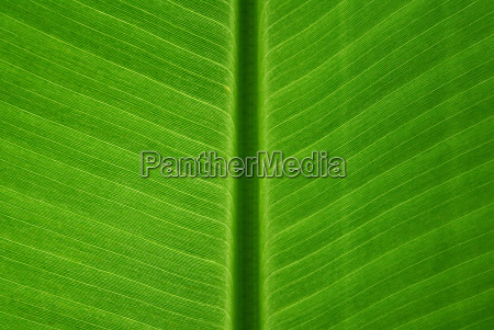 folha verde banana formacao estrutura construcao