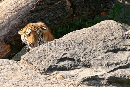 tiger08
