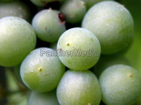 planta verde alcool videira fruta viticultura