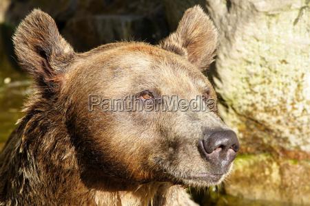 animal mamifero urso marrom alpes ondas