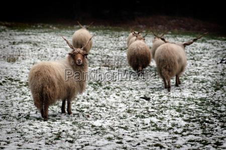 ouvir animais cabra macho cabras la