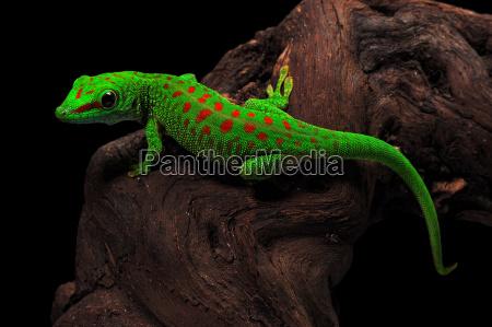 madagascar dia gecko