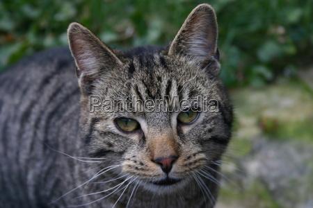 animal gatos ver pele listrado bichano