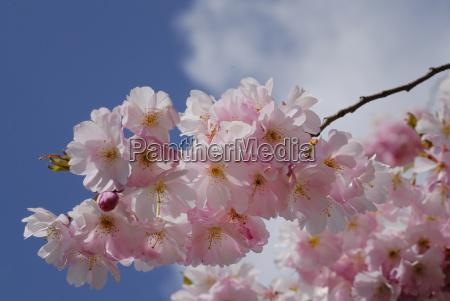 blue bloom blossom flourish flourishing spring