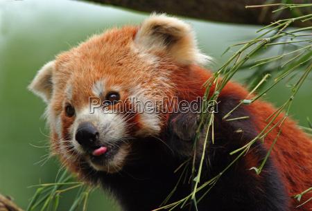 animal mamifero urso lingua retrato olho
