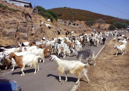 trafego cabra cabras trafego rodoviario rebanho