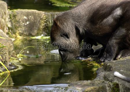 africa reflexao olhar vista alma gorila