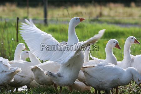 grupo do ganso