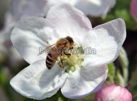 animal inseto botanica flor da maca