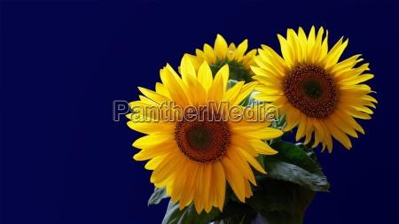 luz flor planta girassol avestruz ramo