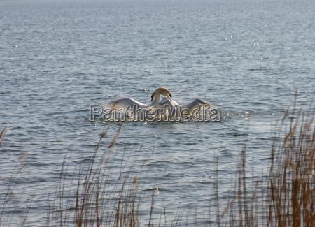 passaro cisne passaros agua mar baltico