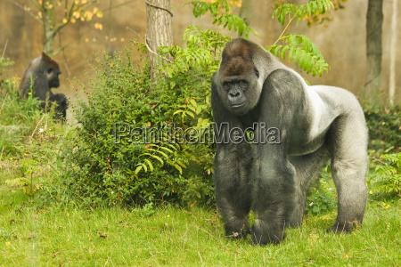 animal gorila pensamento tribus gorillini ape