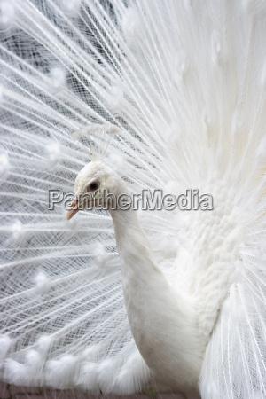 animal passaro animais passaros primavera pavao
